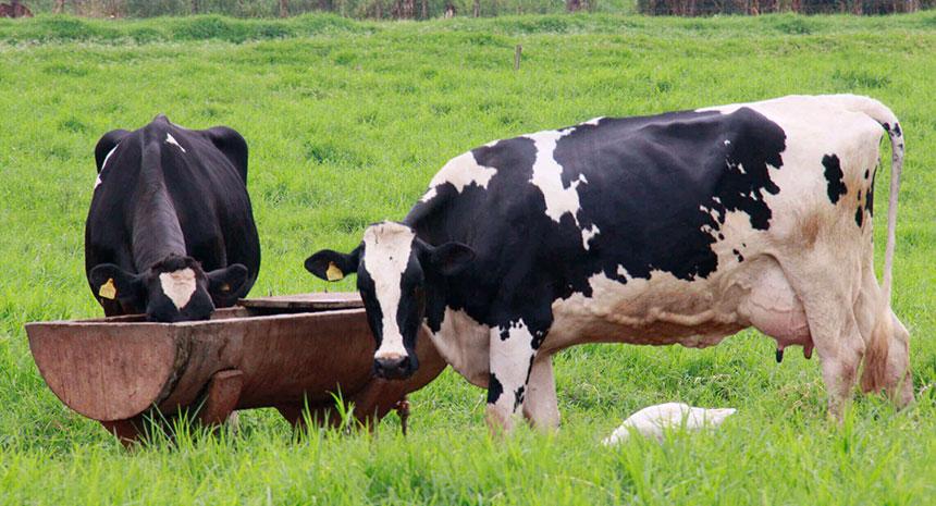 Desempenho e eficiência alimentar de vacas leiteiras suplementadas com levedura viva.