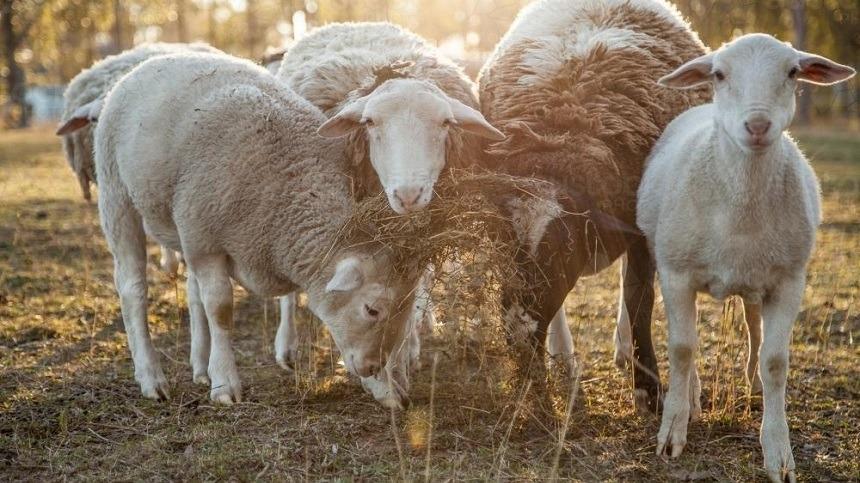 Hábitos alimentares dos ovinos, caprinos e cordeiros
