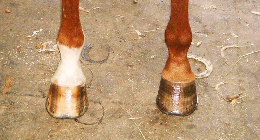 Saiba comoproporcionar cascos sadios para seu cavalo e estimular o crescimento
