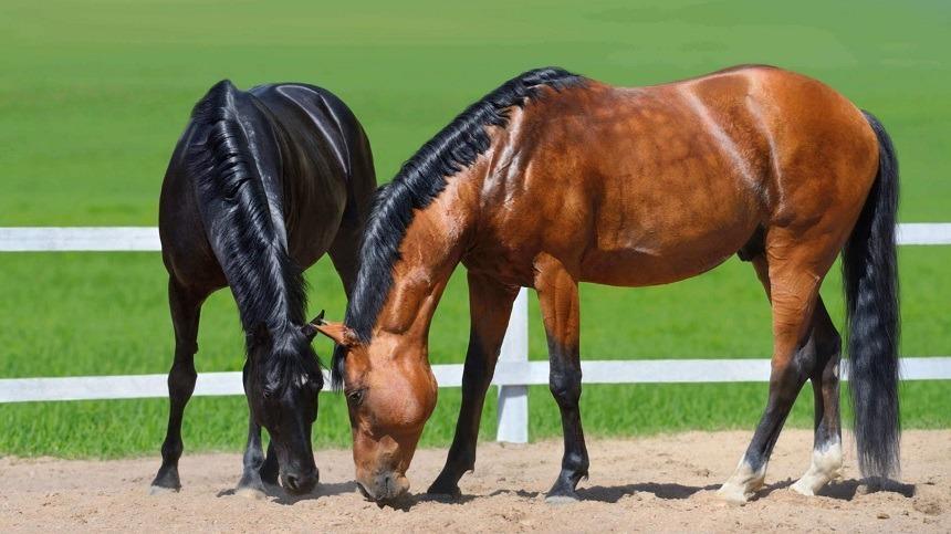 Uso de gordura na dieta dos cavalos principalmente para animais de alto desempenho